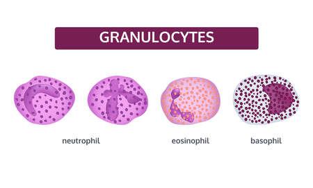 Vector set of white blood cells. Granulocytes. Basophil, eosinophil and neutrophil. Medical concept on white background. Vector Illustration