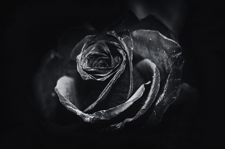 contrasted: A macro of a rose