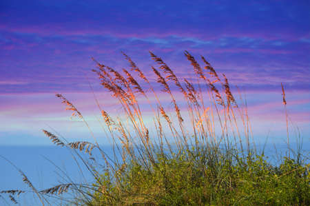 Sea oats swaying in the breeze photo