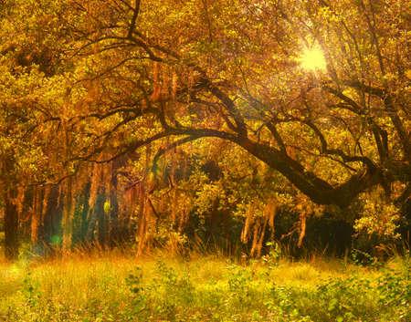Light shining through the Spanish moss photo