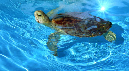 Little turtle just swimming along photo