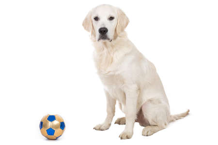 cynology: Golden retriever puppy with toy ball isolated