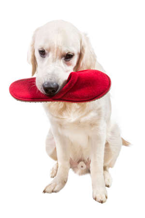 cynology: Naughty golden retriever puppy with slipper in mouth Stock Photo