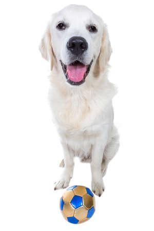 cynology: Playful golden retriever puppy with ball