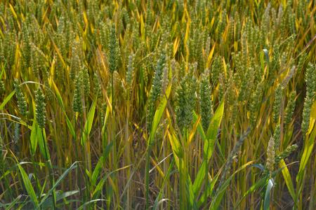 Field of Ripening Corn 写真素材