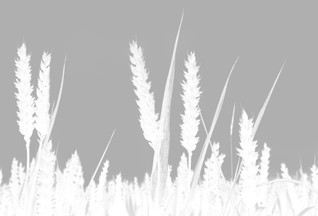Wheat Growing Close Up in Grey and White
