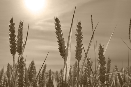 Corn Wheat Field in Sepia.