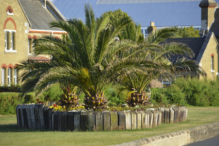 Date Palms in a landscaped urban setting at East Cowes, Isle of Wight. Zdjęcie Seryjne