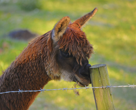 Funny Alpaca Scratching His Nose on a Post Zdjęcie Seryjne