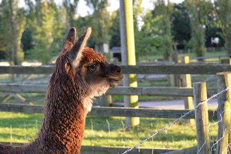 Alpaca Outdoors at the Farm