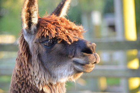 Alpaca Head Close Up