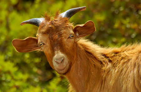 Funny Mountain Goat Close-up Portrait photo