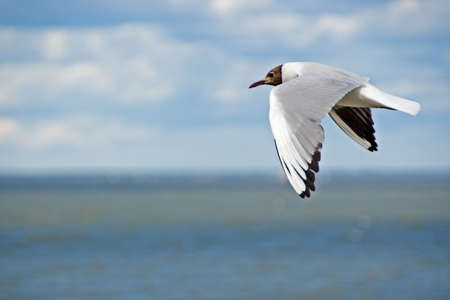 Seagull flying over the sea photo