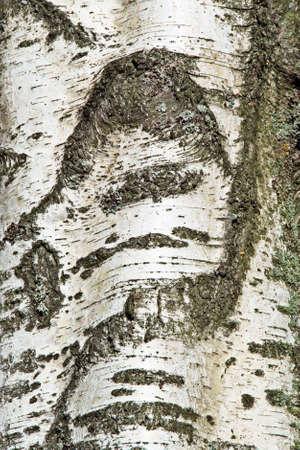 Close-up Detail of Birch Bark photo