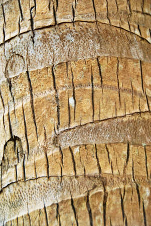 Texture of a Palm Tree Bark photo