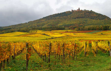 Colorful Vineyards and a castle photo