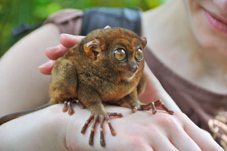 primate: Tarsier - smallest primate in the world