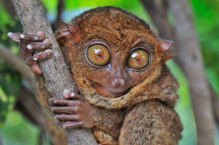 furry tail: Big-eyed Tarsier looking Surprised