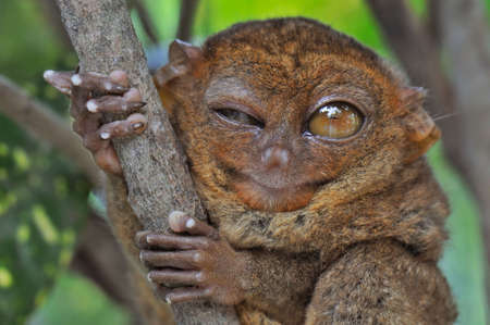 winking: Lovely Tarsier winking with one eye