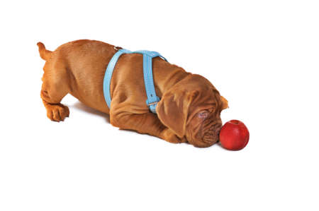 molosse: Dogue De Bordeaux Puppy Playing with Apple