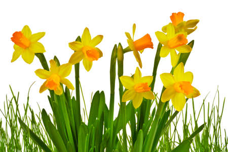 Isolated Yellow Daffodils with Grass Abstract Image photo