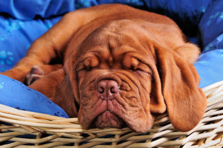 sweetly: Lovely Dogue De Bordeaux Puppy Sleeping sweetly Stock Photo