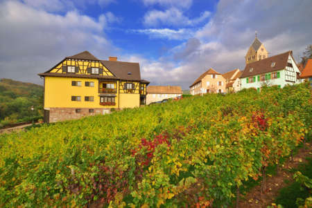 Vivid Vineyard with Ripe grapes after Rain photo