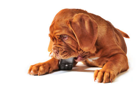 calling on phone: Cute Puppy of Dogue de Bordeax Playing with Cell Phone