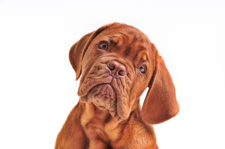 dogue de bordeaux: Portrait of Lovely Dogue De Bordeaux Puppy Stock Photo