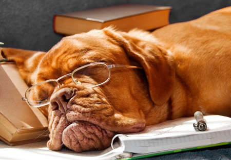 bordeaux dog: Dog Fell Asleep while doing her homework