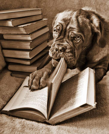 bordeaux dog: Dog Reading book and turning pages (in Sepia Tone)