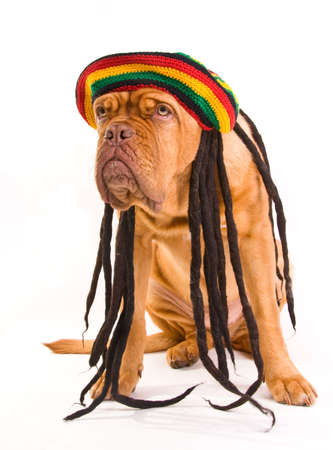 rasta colors: Funny Dog in Rastafarian Hat with Dreadlocks