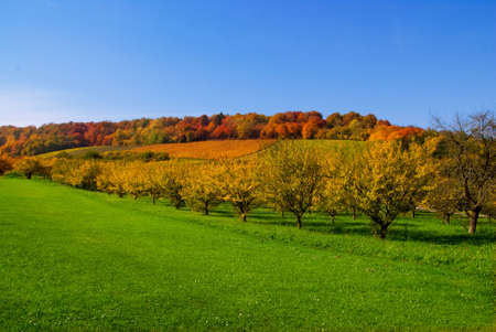 A beautiful orchard of yellow trees and a field of green grass on an autumn day photo