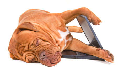 napping: Dog Sleeping at work with laptop half-open Stock Photo