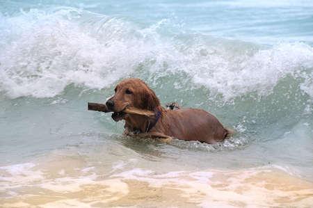 � fond: Chien jouant sur le bord de mer en ondes Banque d'images