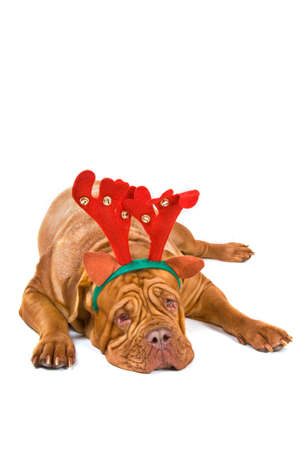 french mastiff: Dogue De Bordeaux Dressed as Christmas reindeer Rudolph