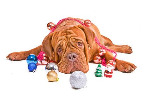 Big Kind Dog Lying among Christmas Decorations photo