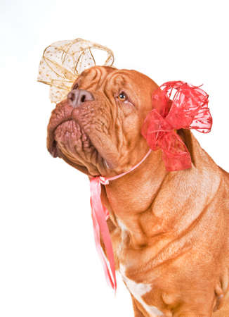 Adorable Lady-Dog with two Bows photo