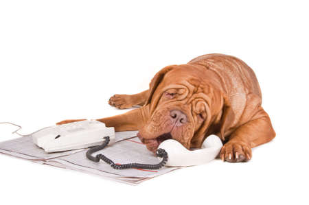 ear phones: Dog arguing over a phone call on the newspaper ads Stock Photo