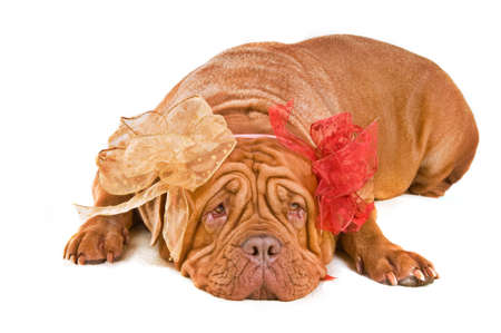 Kind big dog with two beautiful bows lying on the floor photo