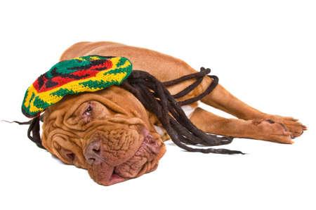 rasta colors: Dogue De Bordeaux Relaxing in Rastafarian Hat
