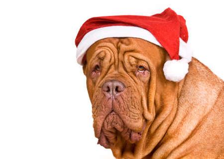 wearing santa hat: Serious Big Dog in Santa Hat