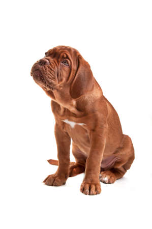 Dogue de bordeaux puppy Stock Photo - 6042608