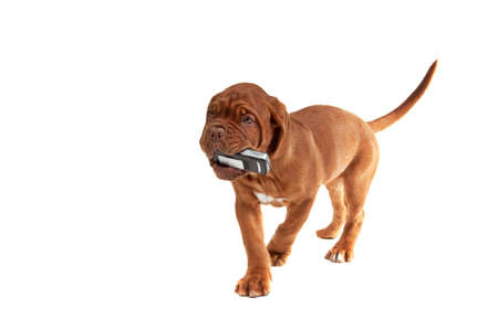 Little puppy with a phone in his mouth