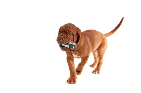 perro boxer: Pequeño cachorro con un teléfono en su boca  Foto de archivo