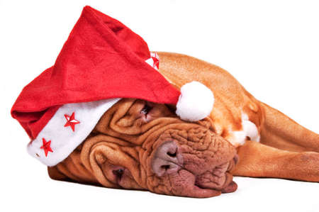 Tired Dogue de bordeaux with a starry Santas hat isolated on white photo