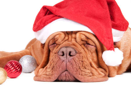 french mastiff: Asleep dogue de bordeaux waiting for Christmas with Christmas decorations