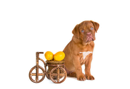 bycicle: Puppy near a handicrafted bycicle cart with lemons