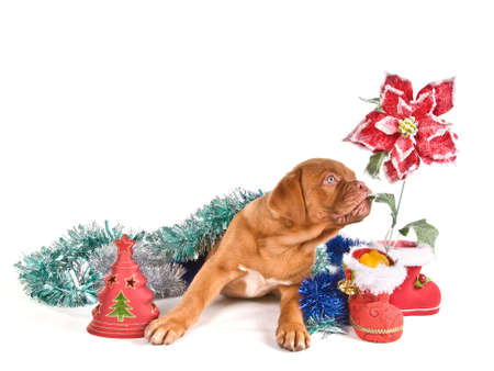 Puppy in Christmas Settings with poinsettia flower photo
