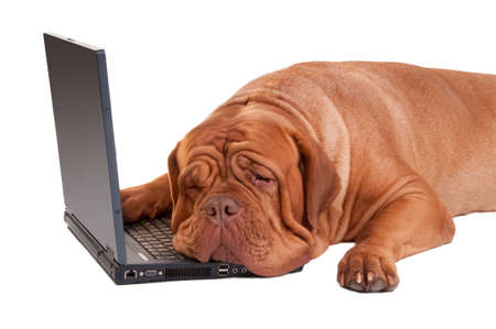 hardworker: tired dog after a long day at work Stock Photo